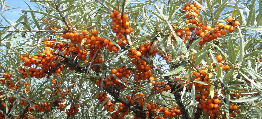 Argousier, promesse de confitures et pâtes de fruits