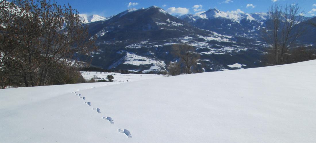 Piste de lièvre croisée dans une sortie hivernale