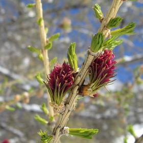 fleurs de mélèzes