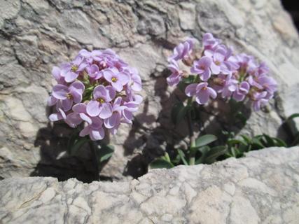 Tabouret à feuilles rondes (Nocaea rotundifolia)