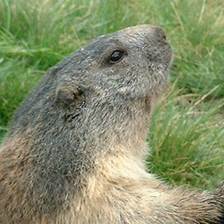 Marmotte au Morgon
