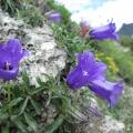 Campanule des Alpes (campanula alpestris)