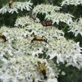Clairon des abeilles et leptures tachetées