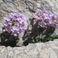 Tabouret à feuilles rondes (Noccaea rotondifolia)